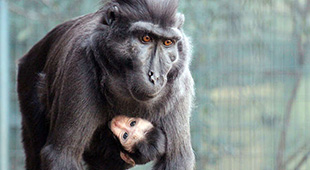 Sulawesi crested macaque baby